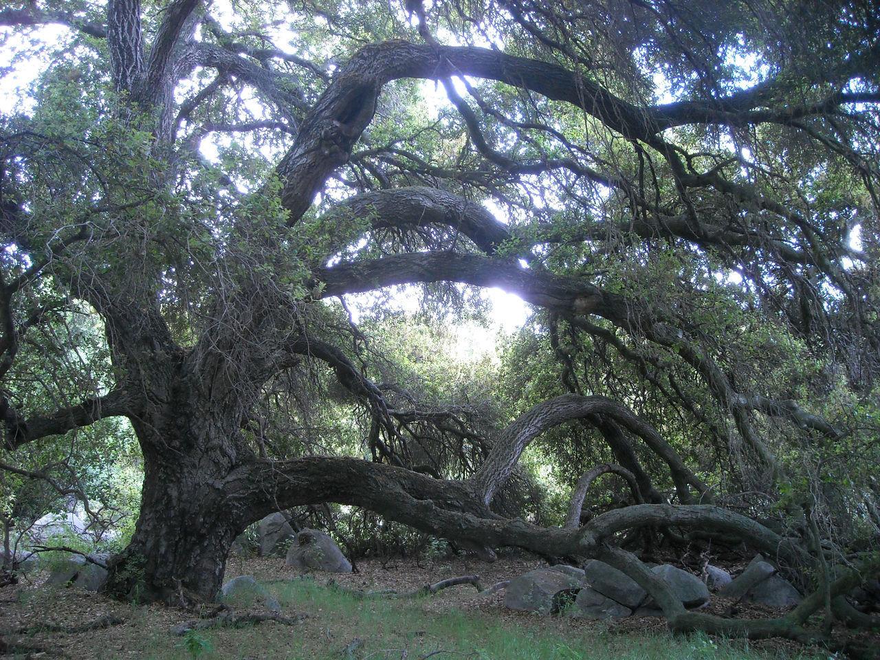A beautiful california oak tree! California Oak Tree Natural Beauty Nature Nature Lover Oak Oak Tree Outdoors Tree Tree Lover