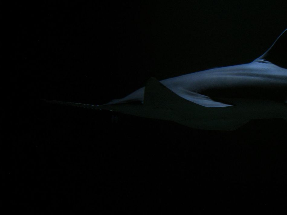 Shark Sawfish