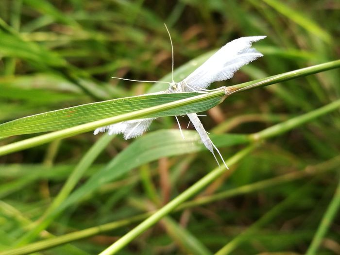 White Insect Insect Photo Insect Photography Insect On Leaf White Plume Moth White Moth Showcase July