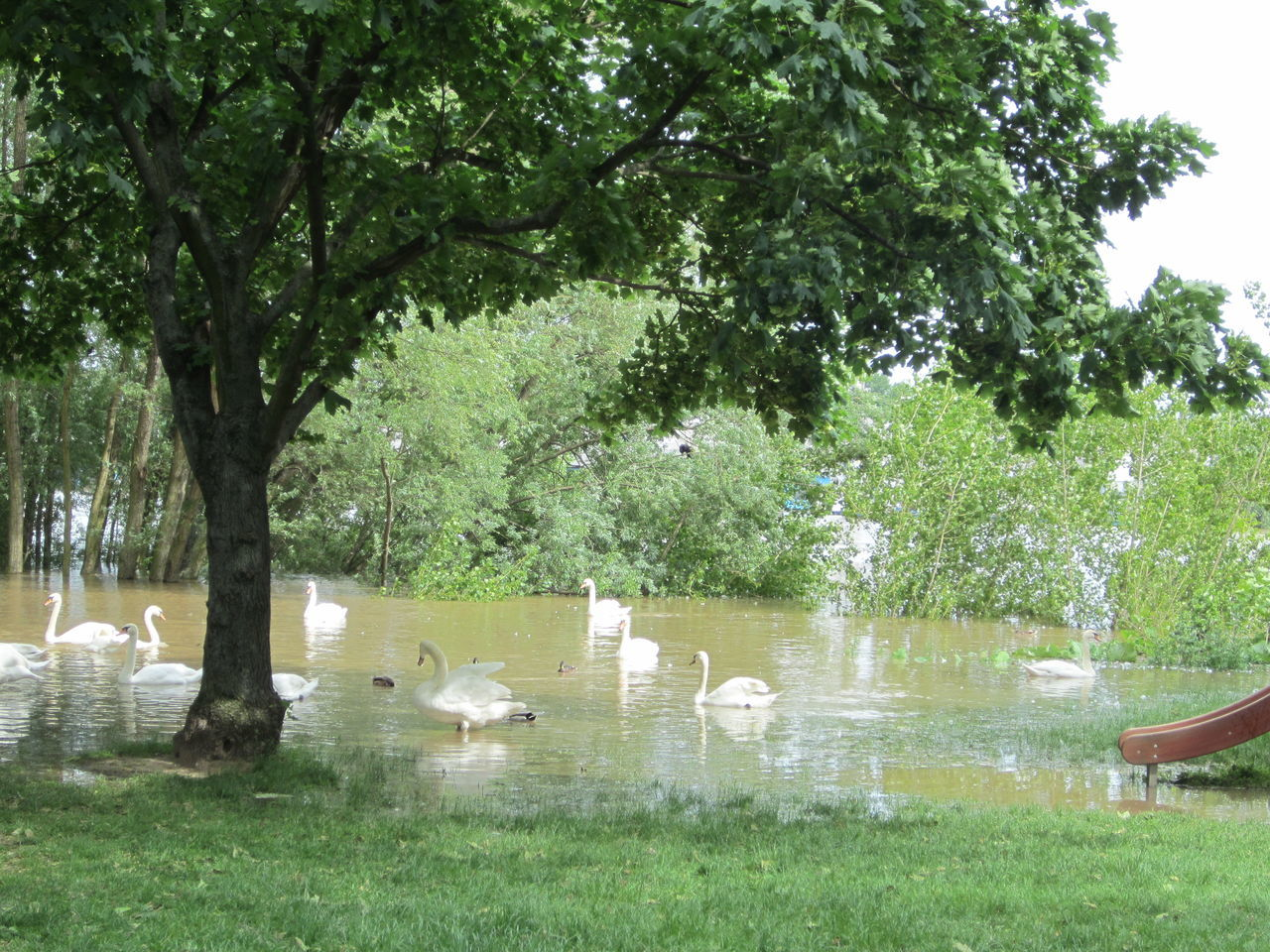 Baum Hochwasser Hochwasser Juni 2013 Main Mainz-Kostheim Schwan  Tree Wasser