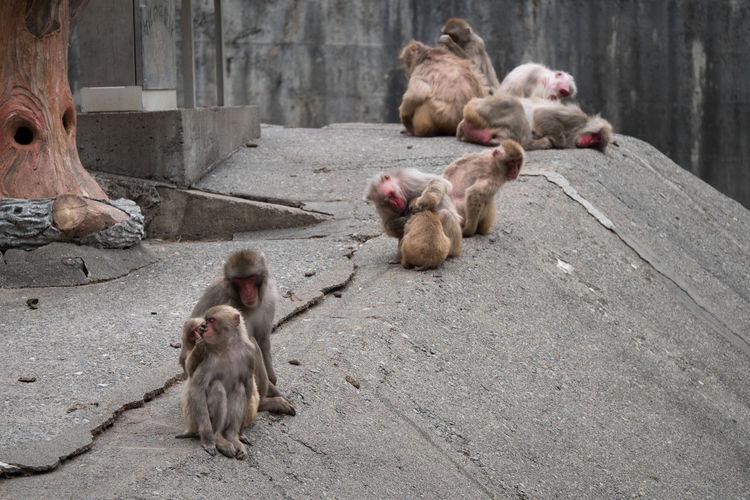 Animal Animal Family Animal Themes Animals Contryside Day Macaca Mammal Monkey Nihon-zaru No People Outdoors Young Animal Zoo