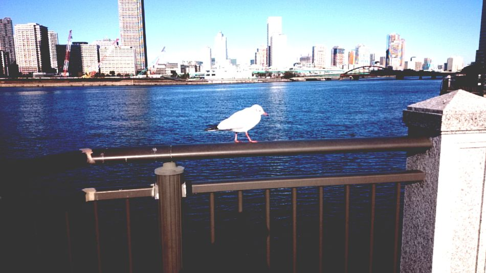 Bird Animal Themes One Animal Architecture Built Structure Animal Wildlife Railing Water Animals In The Wild Perching City No People River Building Exterior Outdoors Sky Day Cityscape Birds🐦⛅ Sea Side Sea Tokyo,Japan Toyosu