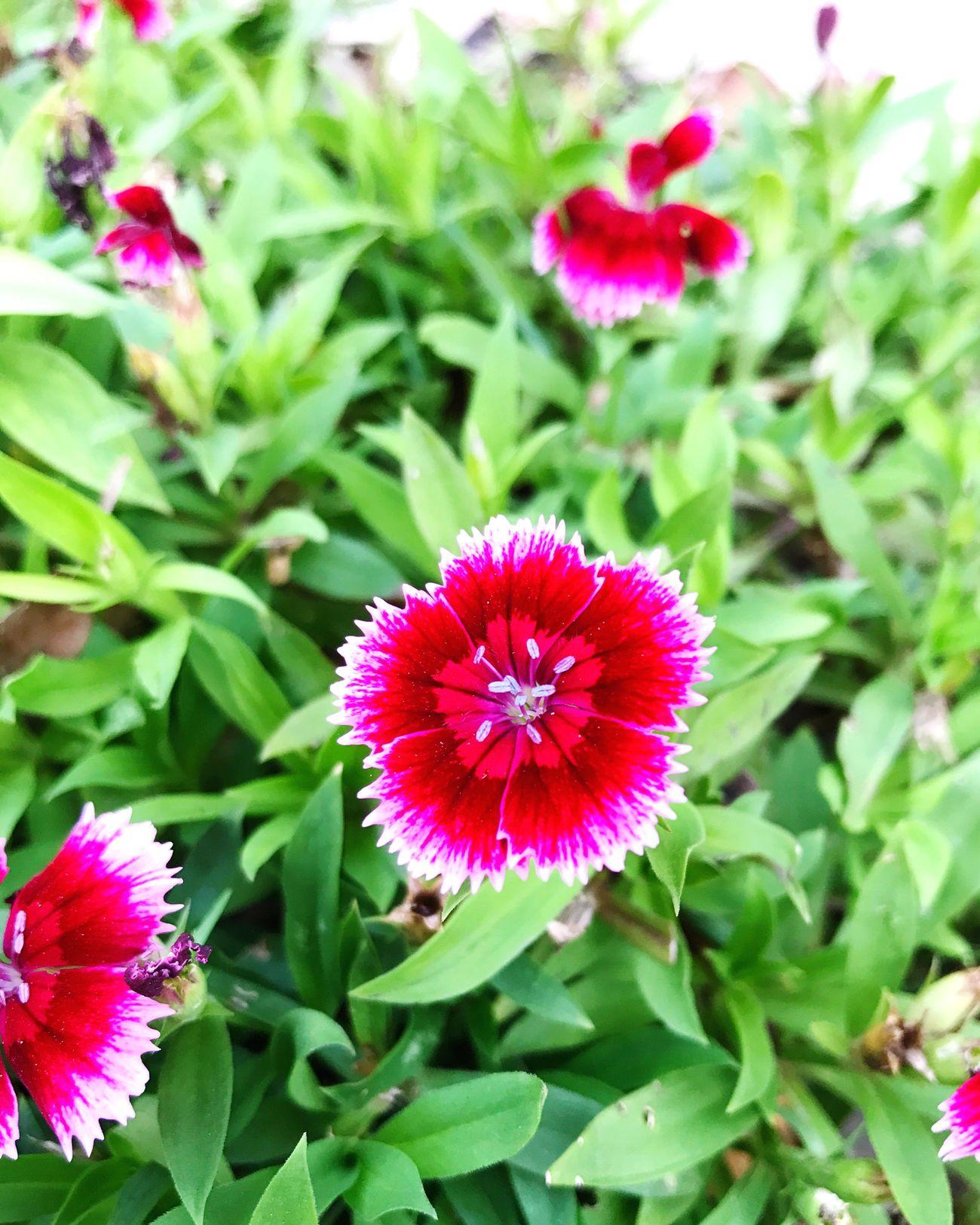 物 Flower Growth Fragility Beauty In Nature Nature Petal Plant Flower Head Freshness Day Leaf Blooming Green Color Outdoors No People High Angle View Pink Color Close-up Zinnia  BEIJING北京CHINA中国BEAUTY