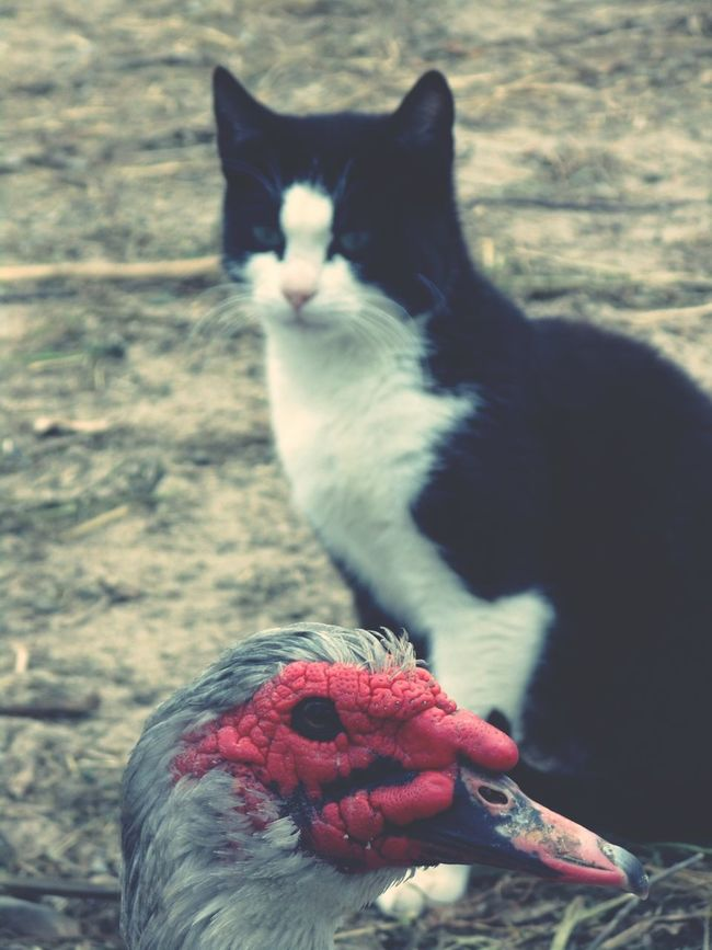 The Beauty And The Beast wich one is The Beauty Of Nature and wich one is The BeastDuck Cat Focus On Foreground Taking Photos The Street Photographer - 2016 EyeEm Awards Taking Photos EyeEm Gallery Close-up Nature Nature Photography EyeEm Best Shots Animals The Portraitist - The 2016 EyeEm Awards