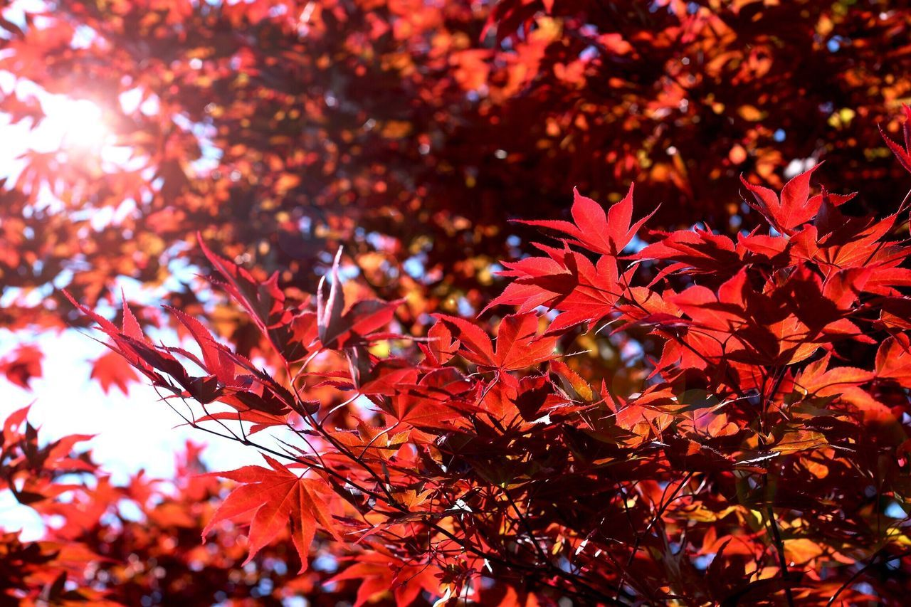 Nature Leaf Red Autumn Maple Leaf Growth Change Beauty In Nature No People Tree Outdoors Branch Close-up Day Fragility Maple