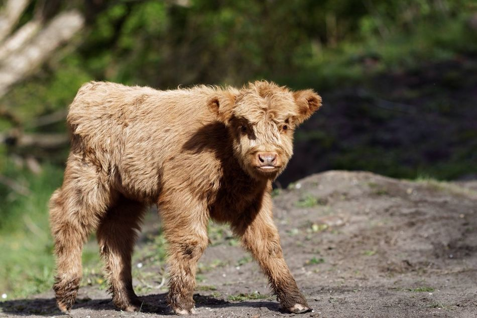 Highland Cattle Lowlands Newly Born Spring 2017 Animal Themes One Animal Mammal Field Outdoors Day No People Nature Livestock Animals In The Wild Domestic Animals Highland Cattle