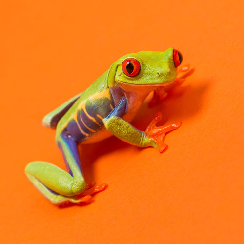Red eye tree frog on an orange background Amfibian Animal Themes Close-up Colored Background Day Frog Green Color No People One Animal Orange Background Orange Color Red Eye Frog Red Eye Tree Frog Reptile