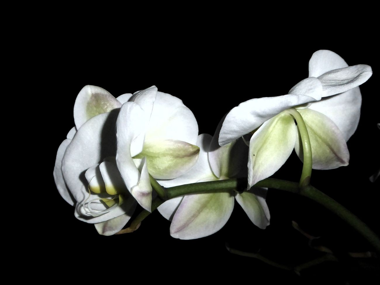 Good Night ♡♡ Sweet Dreams ❤ Black Background Flower Head Unusual View Nightphtography Night Shot Orchid Blossoms Orchid Flower Orchids Contrast In Nature For My Friends 😍😘🎁 Enjoing Life Tranquillity Close-up Beauty In December😍 Loookingup
