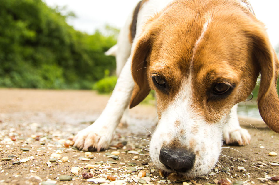 Animal Head  Beagle Close-up Dog Focus On Foreground Inquisitive Low Angle View No People Sniffing Tooting Bec Common