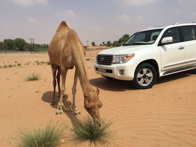 UAE VAE Dubai Dubai❤ Desert Camel Car White Car Whitecar Sand Camels Dubailife Desert Life Trip Beduines Animals Animal Sand Dune Holiday Animal And Car EyeEm Best Shots Nature Nature Photography One Animal Domestic Animals