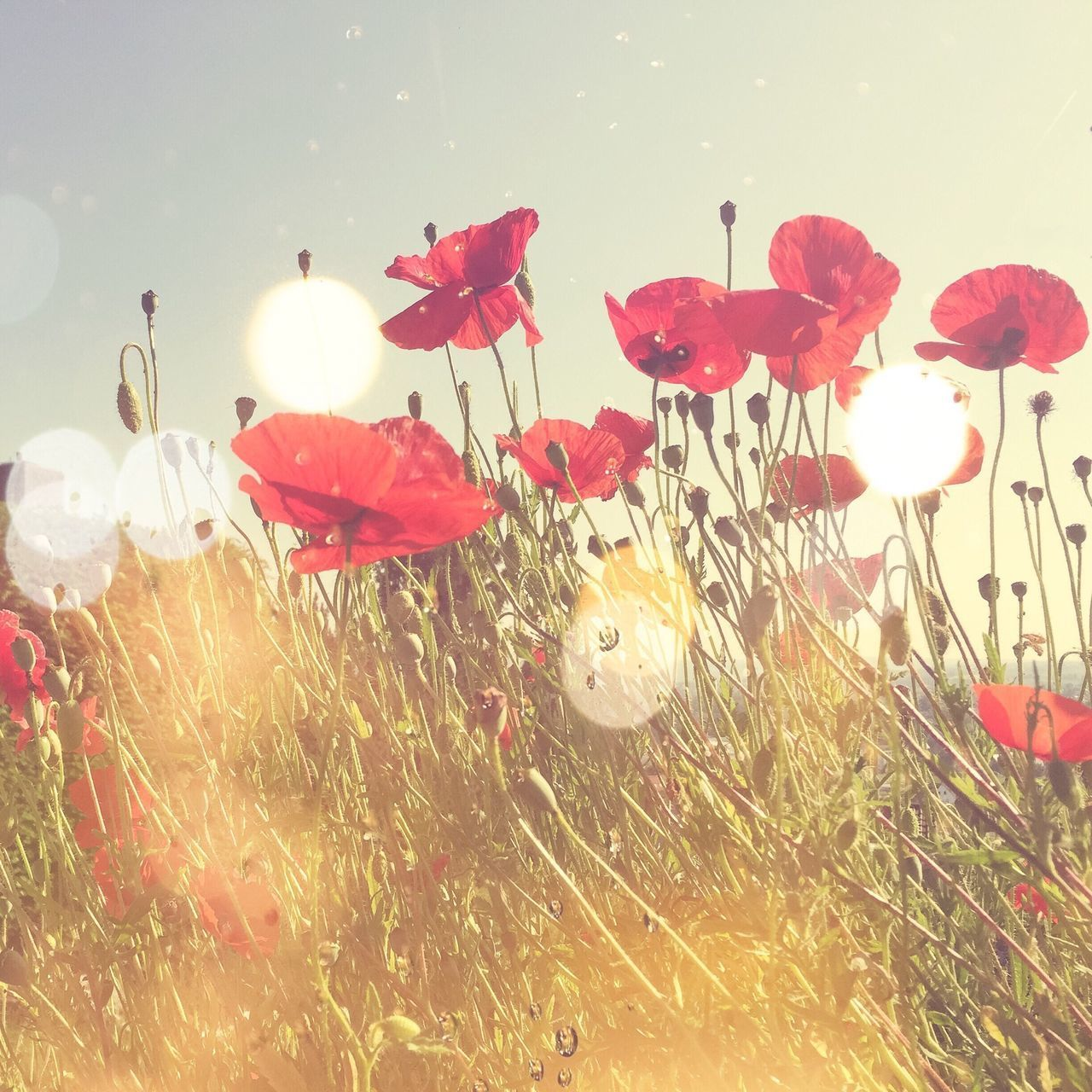 Poppy field in the light Poppy Field Flowers Meadow Light Sun Nature Bokeh Art Summer Spring Red Vintage Retro Bright Morning Sunlight Sunny Sunrise Beauty Beautiful Card Postcard Romantic Health