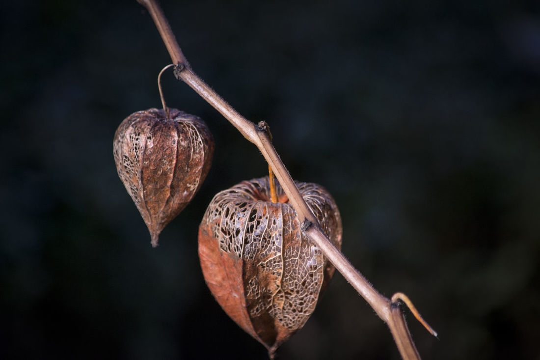 Autumn Beauty In Nature Brown Detail Fruits Fruto Garden Macro Photography Marron Nature No People Otoño Plant Planta Rama Tranquility Tree Branch