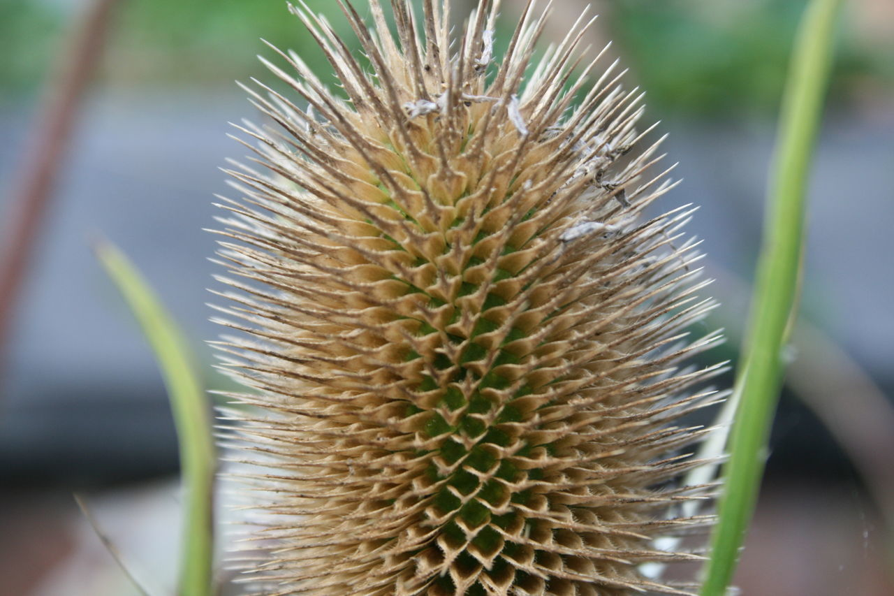 growth, plant, nature, thorn, close-up, cactus, spiked, focus on foreground, day, no people, outdoors, beauty in nature, freshness