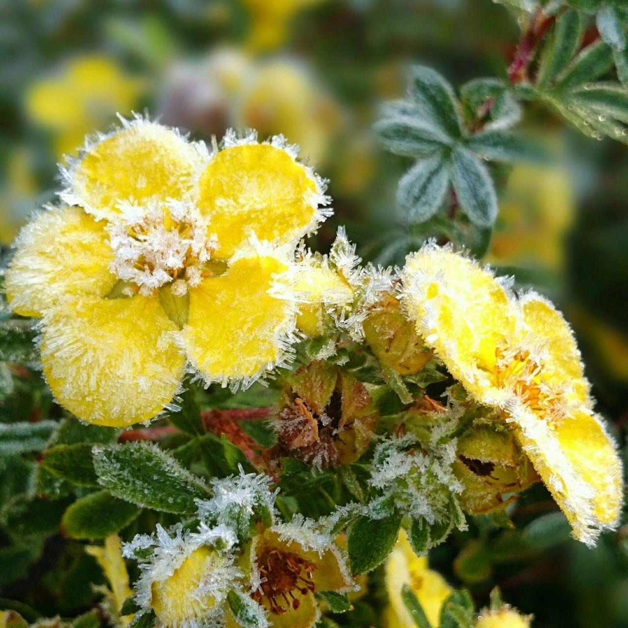 Frozen Yellow Flowers Blooming In Garden