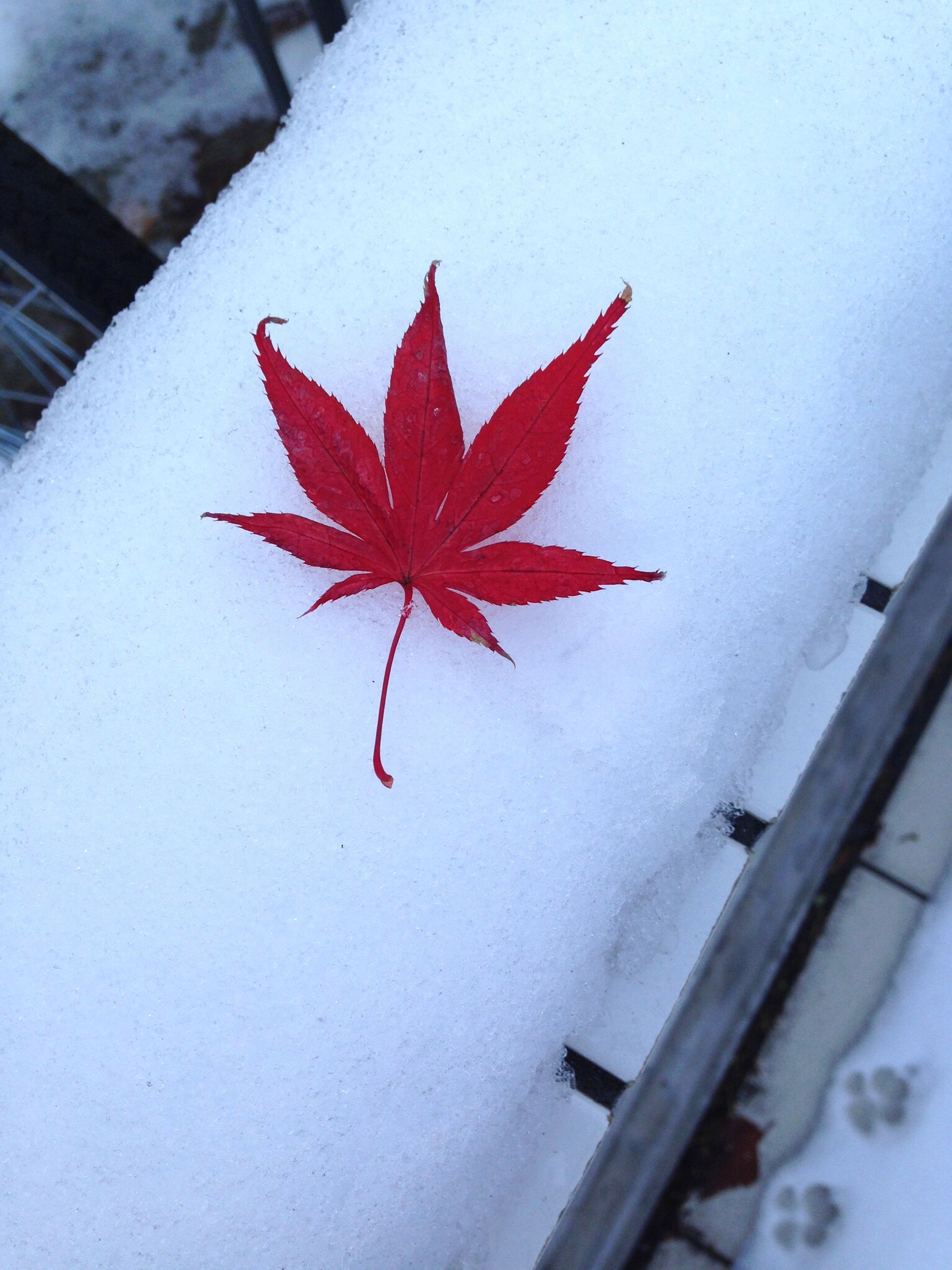 season, winter, cold temperature, snow, autumn, weather, change, red, maple leaf, leaf, close-up, frozen, high angle view, nature, indoors, white color, no people, covering, day, star shape