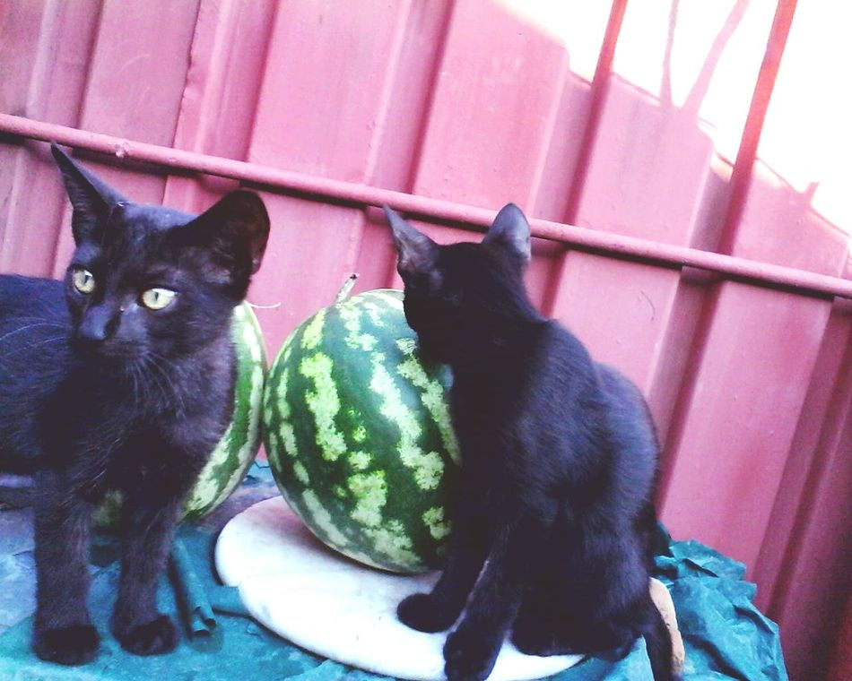 Two Is Better Than One Eyeemphoto Eyeem Market Two Cats Two Animals Two Kittens Two Watermelons Cute Cats Wolfzuachis Ionitaveronica @wolfzuachis Domestic Animals Cute Pets Pufosenii Cats Of EyeEm Showcase: 2016 Animals Kittens No People Cats Pets Watermelon WaterMELONS Pufosi Edited By @wolfzuachis