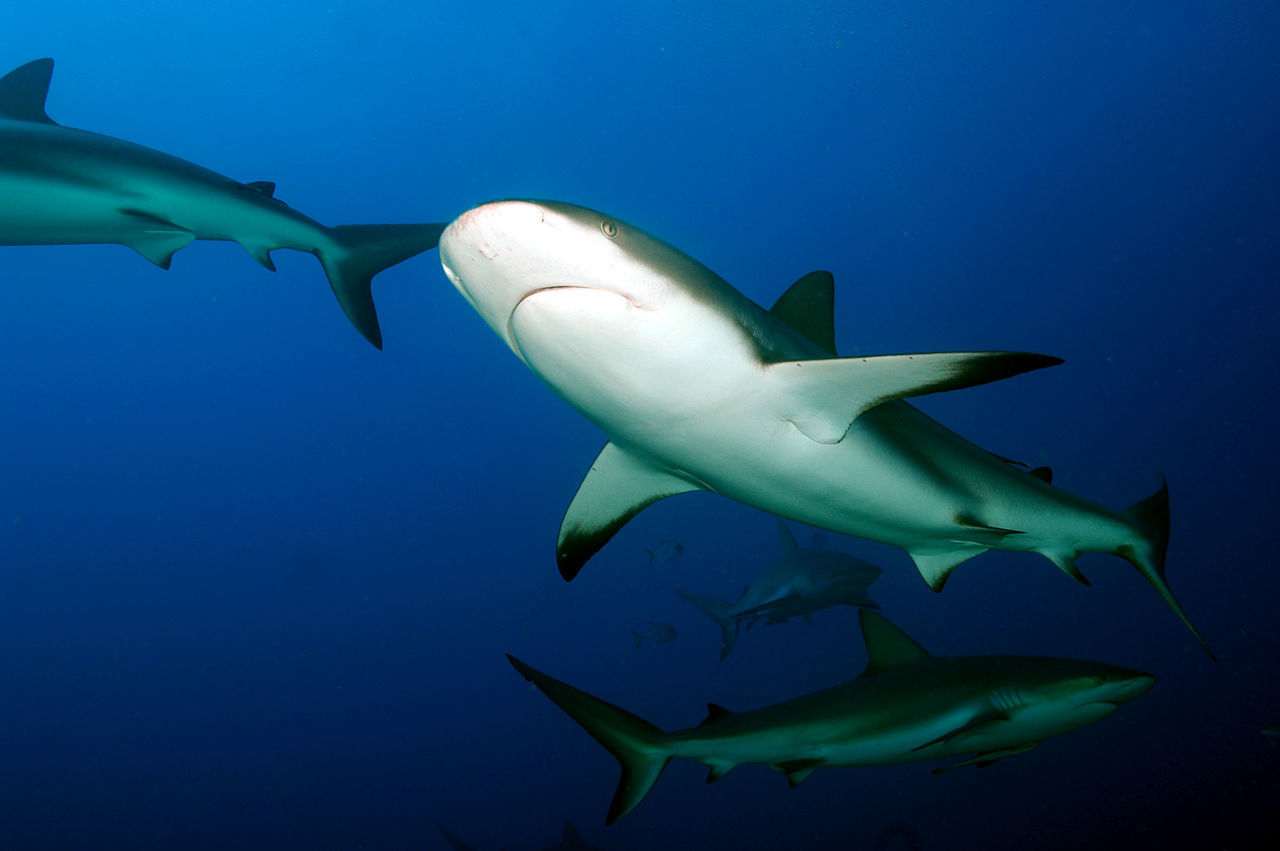 Beautiful stock photos of shark, Animal Themes, Animals In The Wild, Beauty In Nature, Fish