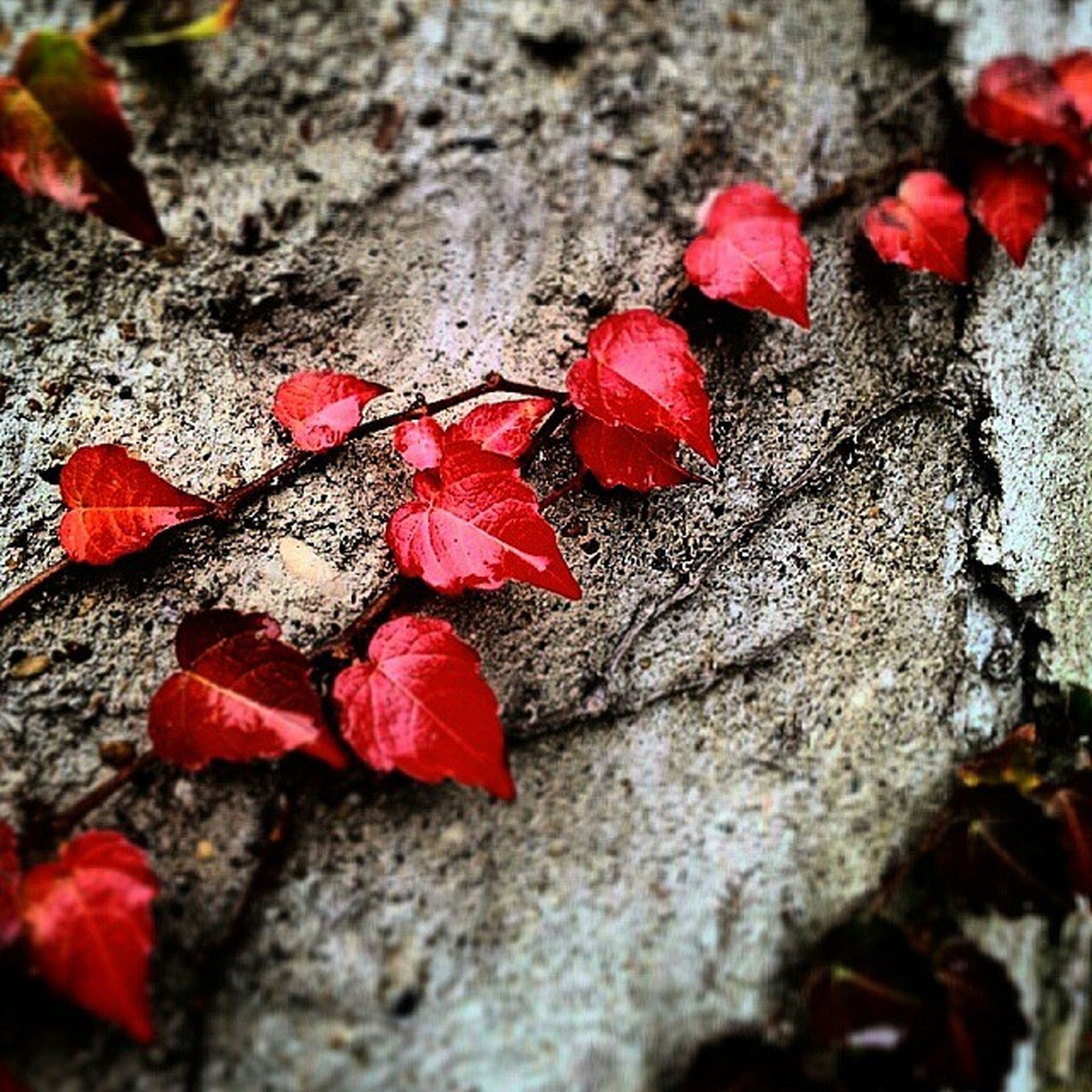 autumn, leaf, change, red, season, fallen, leaves, maple leaf, selective focus, dry, nature, close-up, high angle view, falling, ground, day, outdoors, beauty in nature, tranquility, no people