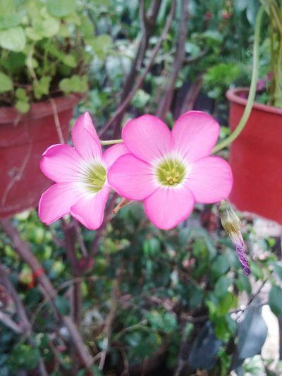 Flor del trebol Chile Hello World Flores Y Más Flores Naturaleza Flowers Flores Trebol
