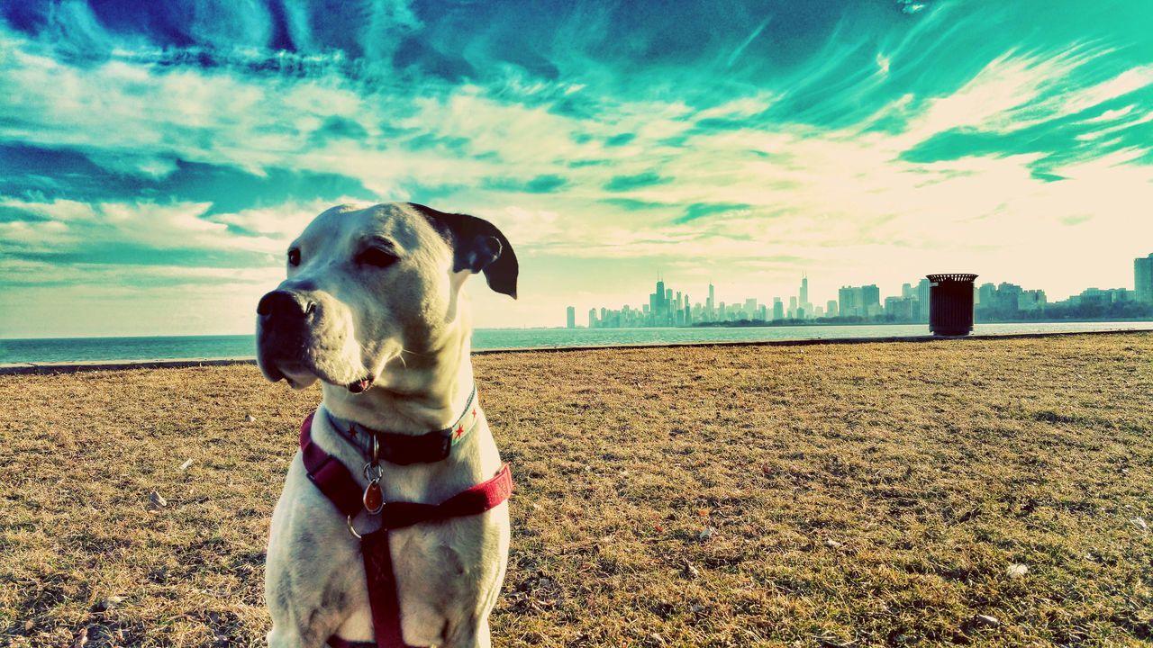 Dogstagram Dogs Chicago Skyline Dogdays Madaras