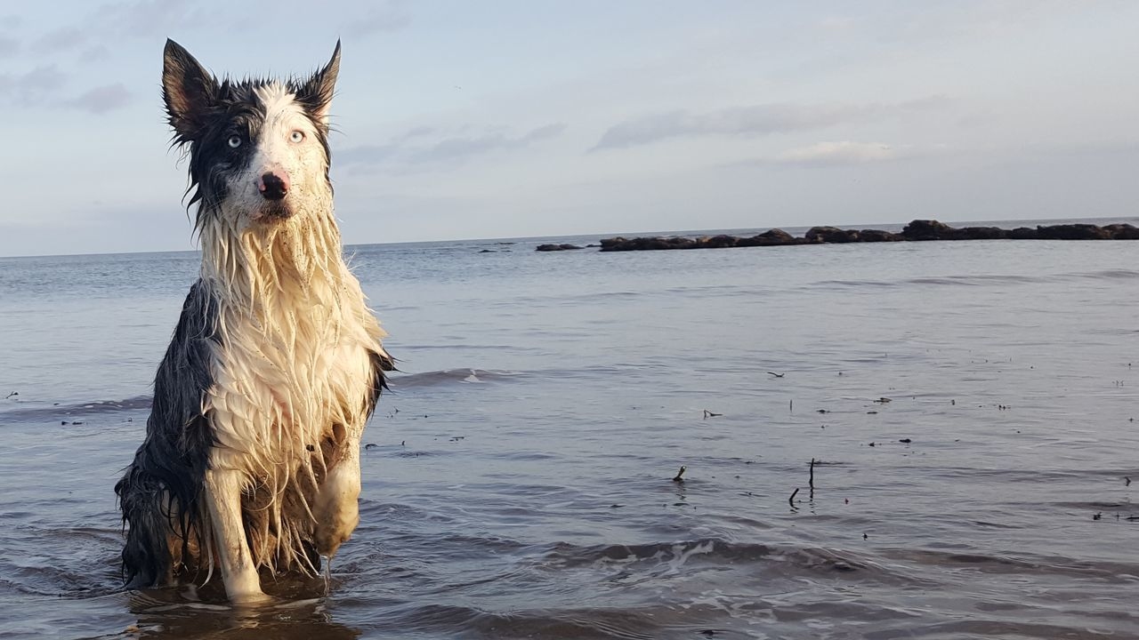 sea, water, animal themes, one animal, sky, horizon over water, domestic animals, nature, outdoors, mammal, dog, beach, day, beauty in nature, pets, no people