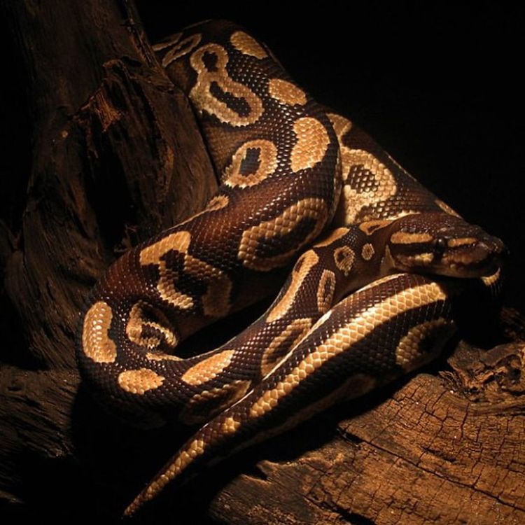His name is Rey, and he's a RoyalPython as you probs already know. Pythonregius Ballpython Animals Snake Reptile Instapic IGDaily Nature