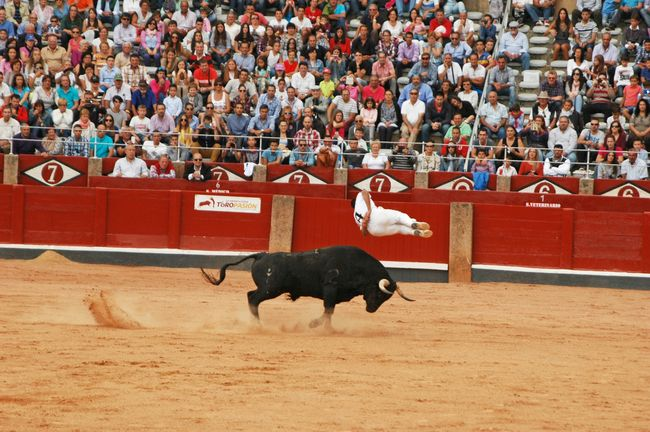 Jump to th bull Animals SPAIN Photography Salamanca Landscape Taking Photos Jump Bull Acrobatics  Popular Photos