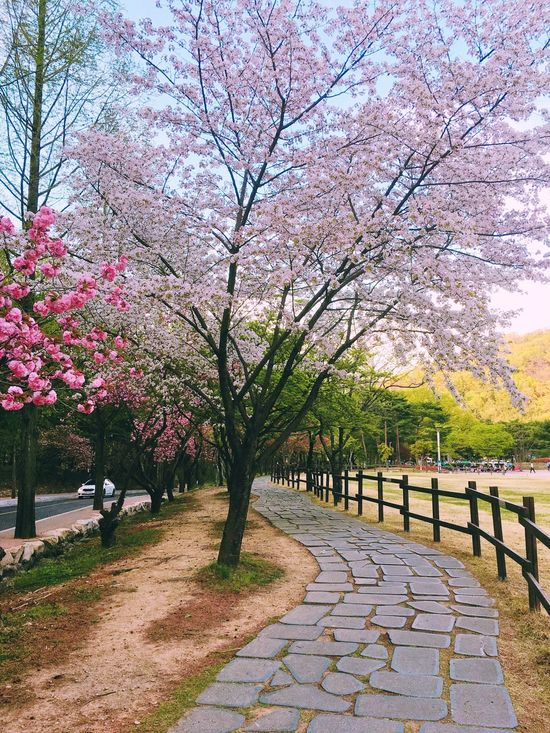 Tree Footpath Beauty In Nature Flower Nature Blossom Outdoors The Way Forward Springtime Branch No People Growth Day Walkway Scenics Sky Clear Sky Freshness