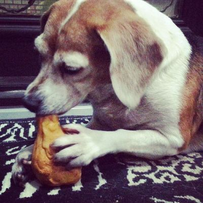握好好,乖,我要啃你嘍 Mymilinbaby Beagle
