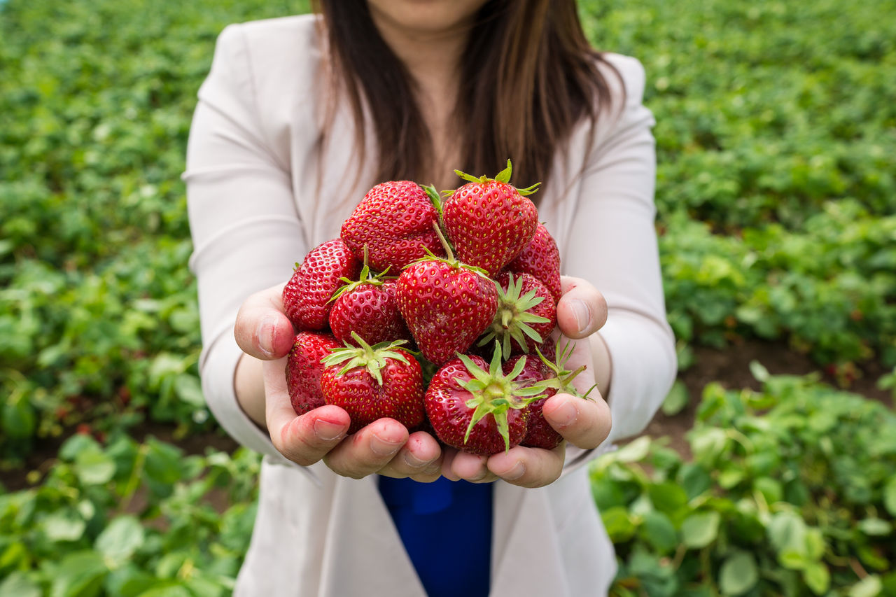 Close-up Color Image Field Focus On Foreground Food Food And Drink Freshness Fruit Girl Green Growth Healthy Eating Holding Leisure Activity Lifestyles One Girl Only Organic Outdoors Person Photography Red Ripe Strawberry
