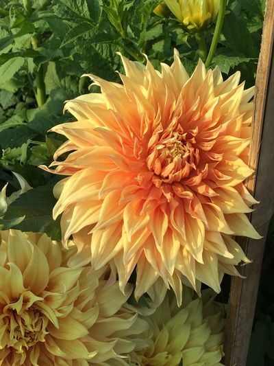 Flower Fragility Beauty In Nature Freshness Petal Nature Orange Color Flower Head Growth Close-up Plant No People Outdoors Chrysanthemum Day Gerbera Daisy Dahlia