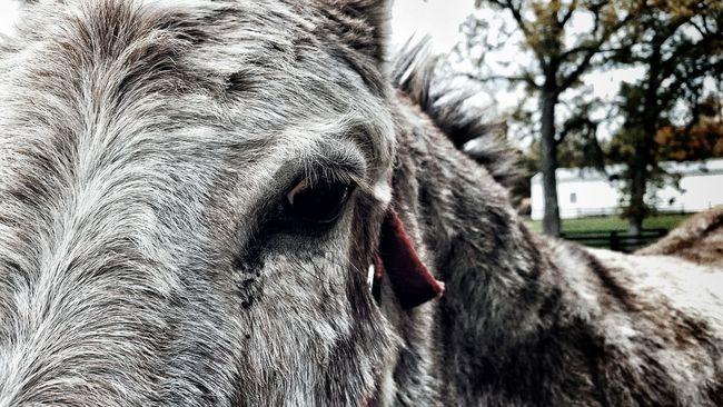 Chicago Scout Donkey Ass Assplay Stubborn Eyes Closeup Hung Not A Horse Brinkerfarms
