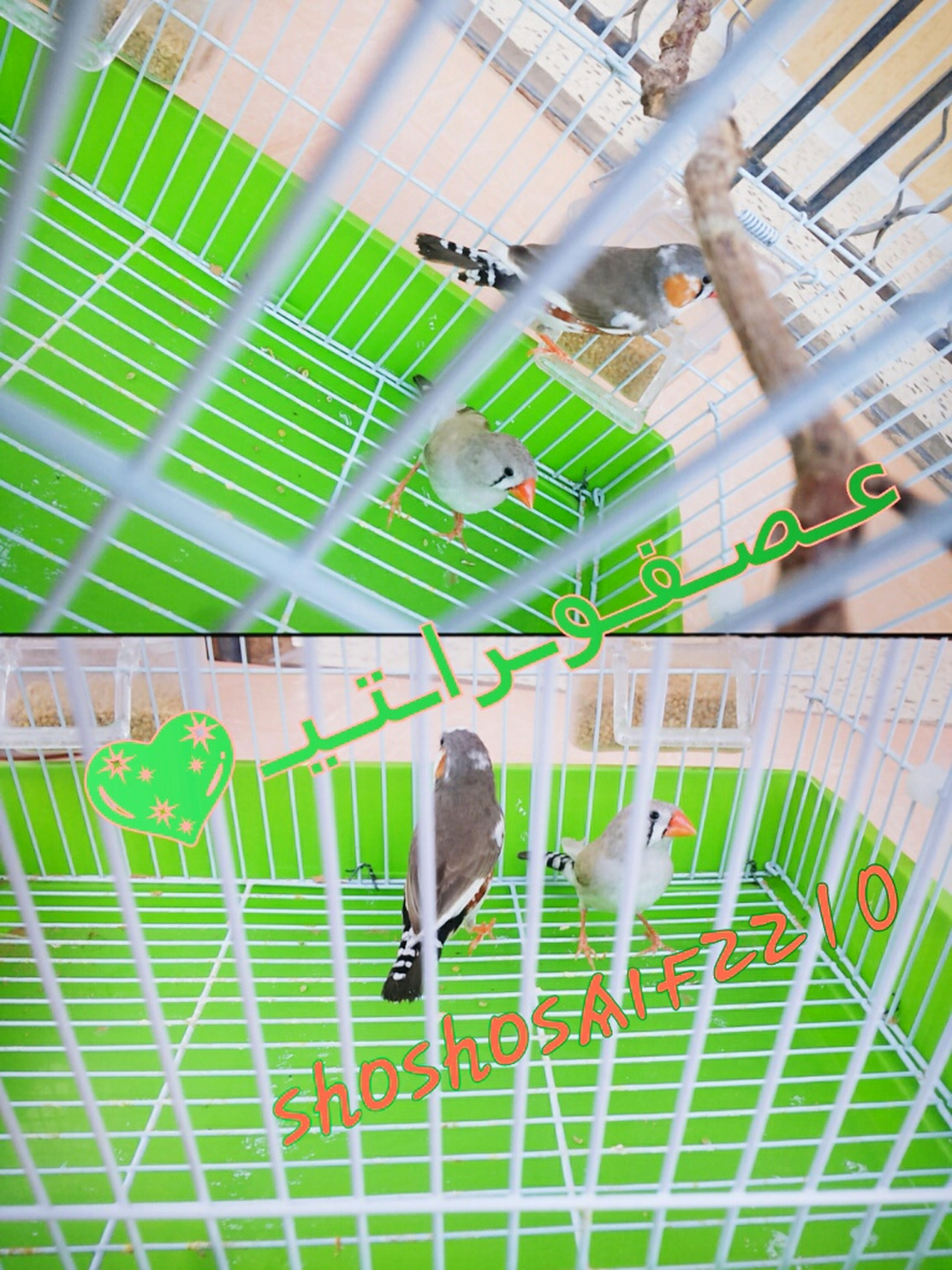 green color, bird, no people, cage, budgerigar, animal themes, indoors, day