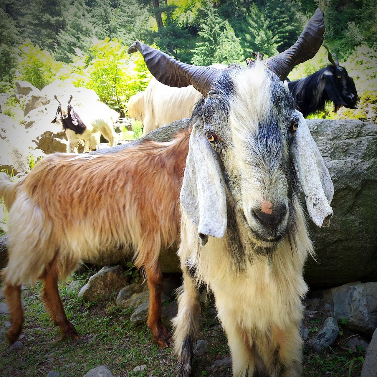 Goat Goats Animals Kashmir Baramulla Uri Animal Domestic Animal Goat Selfie Mountain Goat