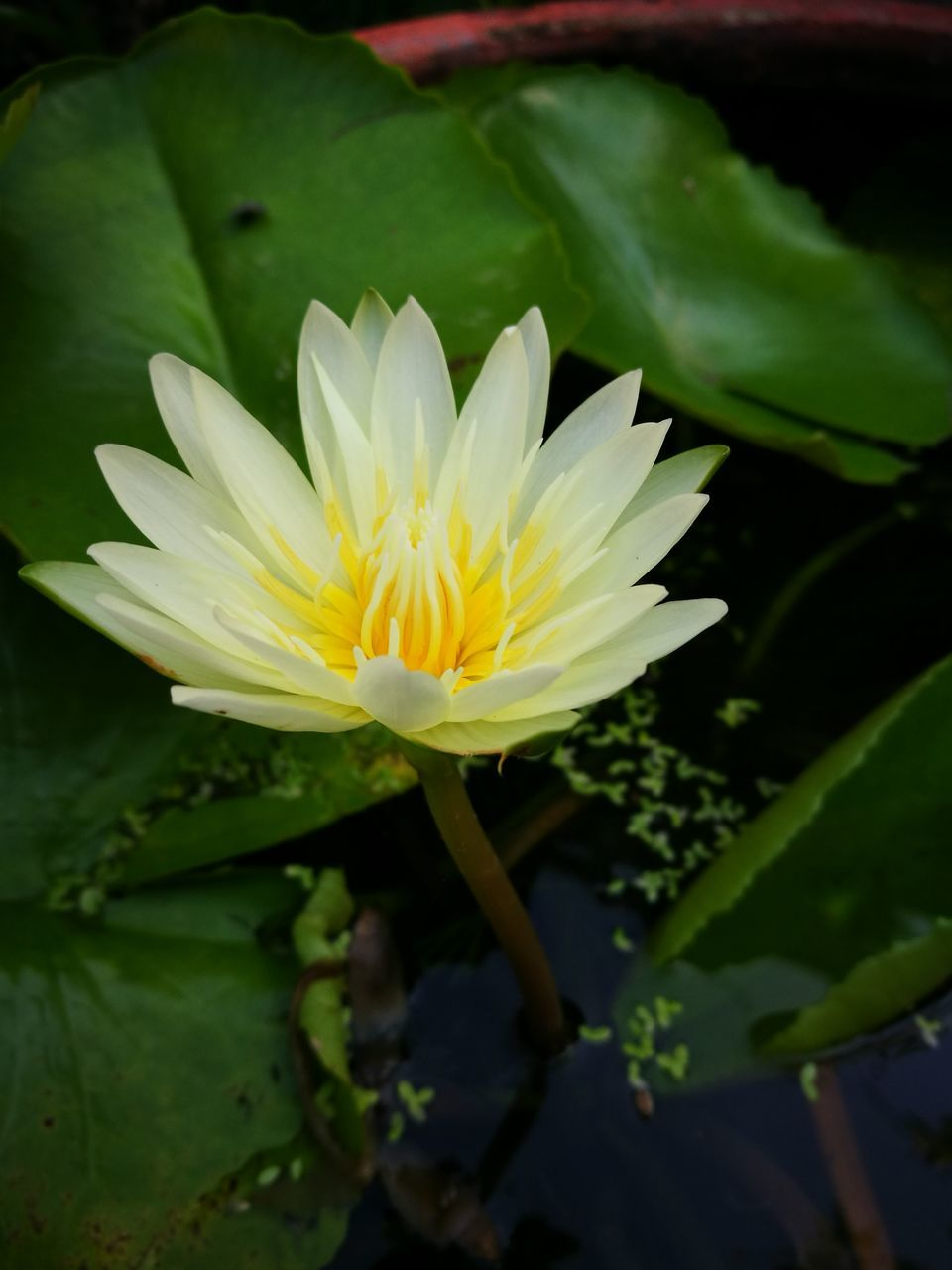 flower, petal, beauty in nature, nature, fragility, freshness, flower head, growth, leaf, green color, outdoors, no people, plant, yellow, day, close-up, water lily, blooming, lotus water lily