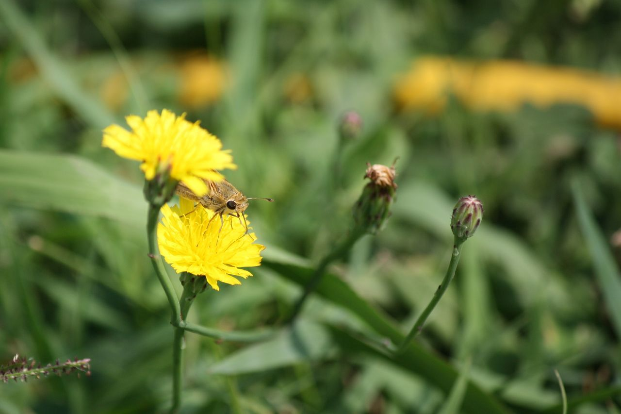 flower, insect, yellow, animal themes, nature, fragility, growth, one animal, animals in the wild, bee, petal, beauty in nature, plant, freshness, outdoors, day, no people, animal wildlife, flower head, pollination, close-up, buzzing, blooming