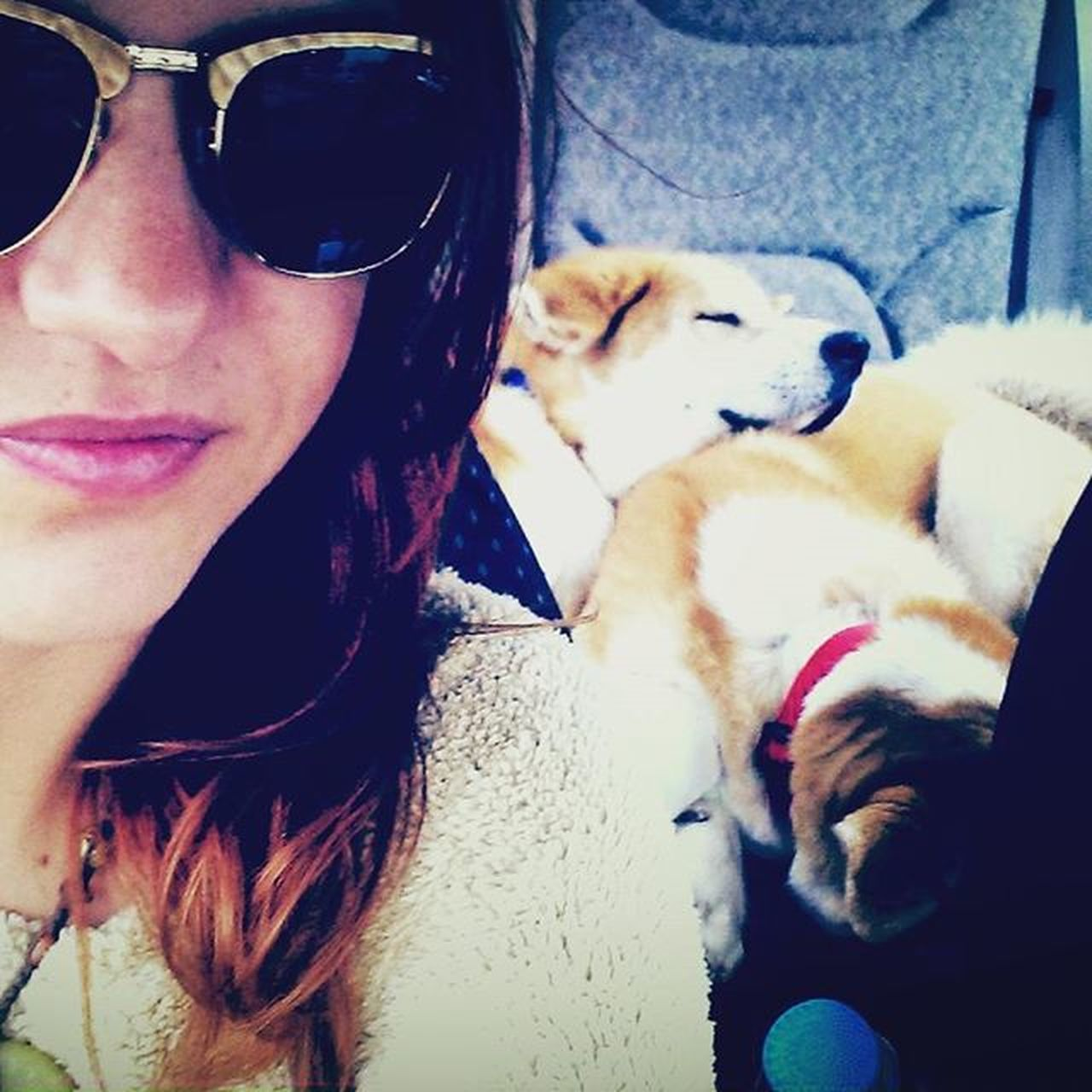 Dog Akitas Akitainu  Hachiko AKA Taramae Tara CarRide Naptime Pups Socute JapaneseAkita Japaneseakitainu Cute Cuddle Cuddletime Siblings