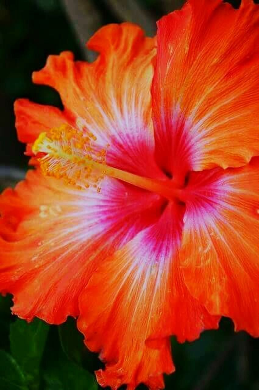 flower, petal, flower head, fragility, beauty in nature, nature, freshness, plant, no people, close-up, growth, blooming, outdoors, pollen, stamen, day, hibiscus, day lily