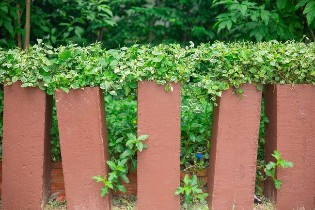 Growth Plant Green Color Ivy Freshness Flower Fragility Nature Beauty In Nature Springtime Day Botany Outdoors Pink Color Creeper In Bloom Growing Plant Life Abundance Blossom House Plant House Exterior Home Exterior