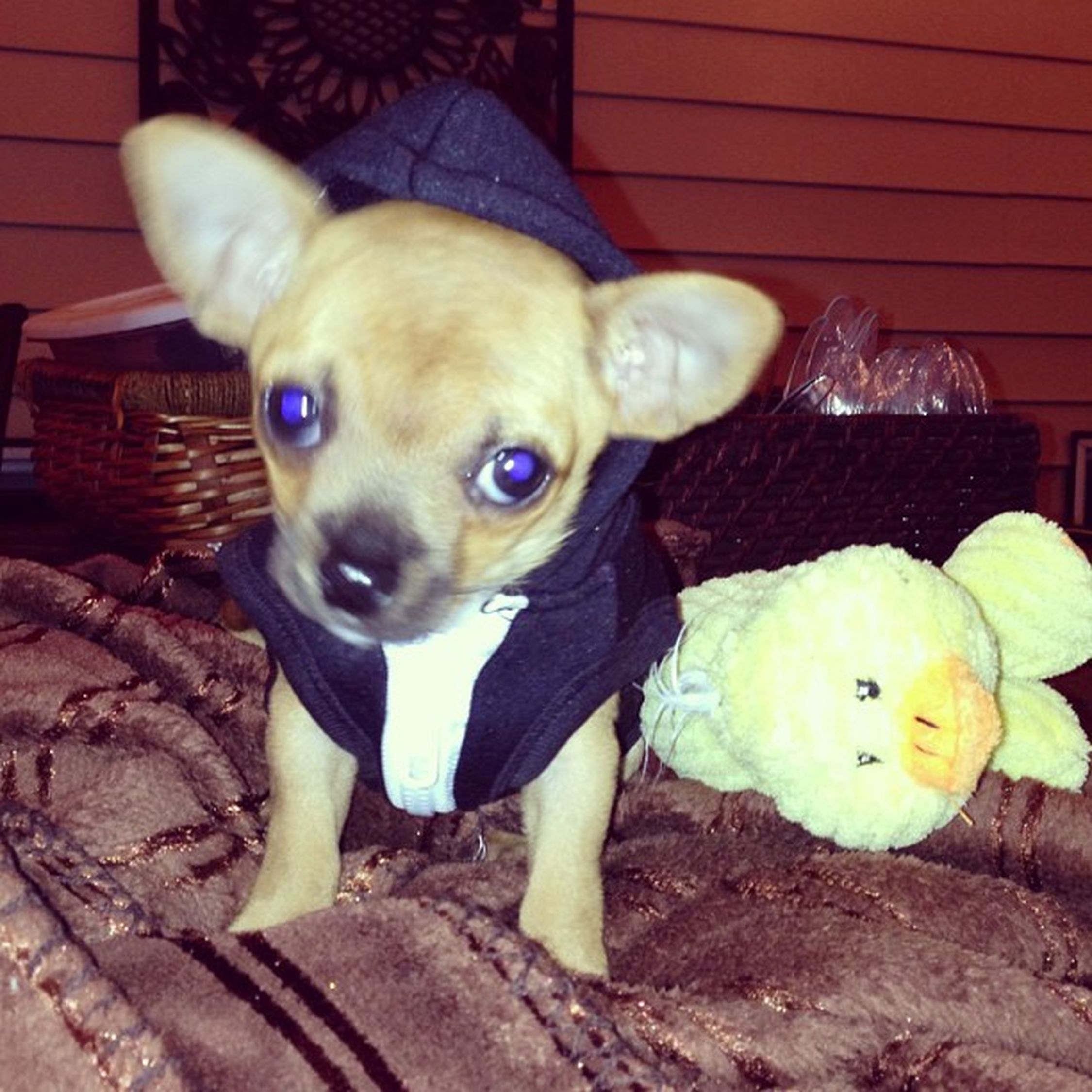 Don't mess with me papichulo Chiuaha Yoquierotacobell Dontmesswiththeduck Puppypicoverload