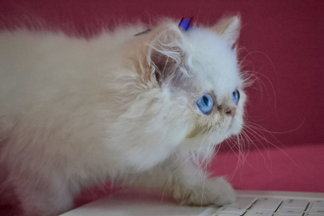 Kitten Animal Animal Themes Baby Blue Eyes Cats Of EyeEm Cute Cute Animals Cute Cats Cute Pets Domestic Animals Kitten Kitty Kitty Cat Lovely Mammal No People Persa Persian Persian Cat  Pet Pet Photography  Pets Pink White