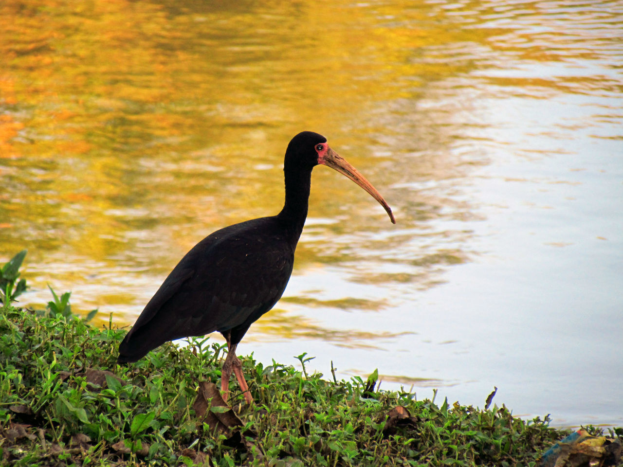 Phimosus infuscatus Avian Beauty In Nature Bird Bird Photography Birds Birds_collection Birdwatching Black Bird Grass Growth Ibis Lake Lake View Lakeside Lakeview Long Beak Nature Plant Tranquil Scene Tranquility Water