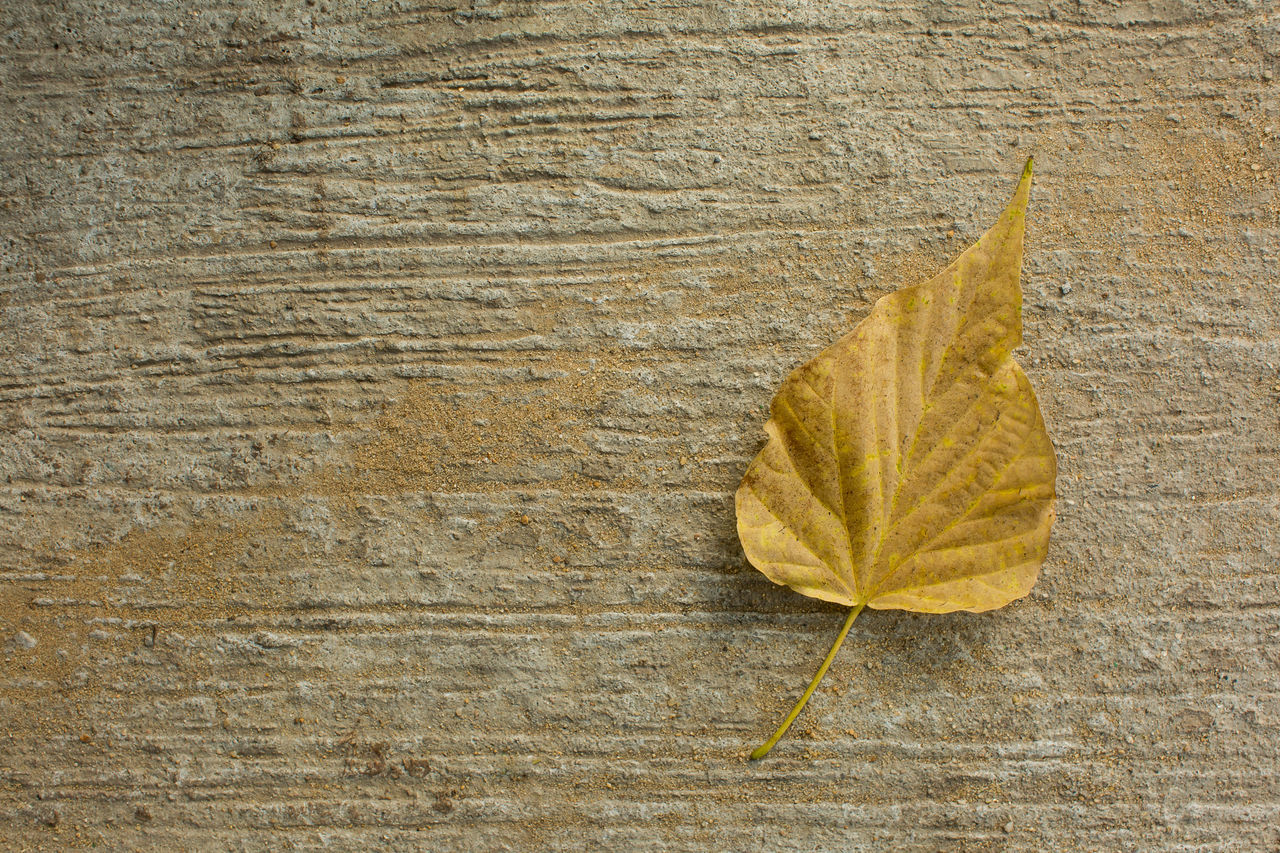 leaf, autumn, change, dry, day, outdoors, close-up, no people, nature, fragility, maple