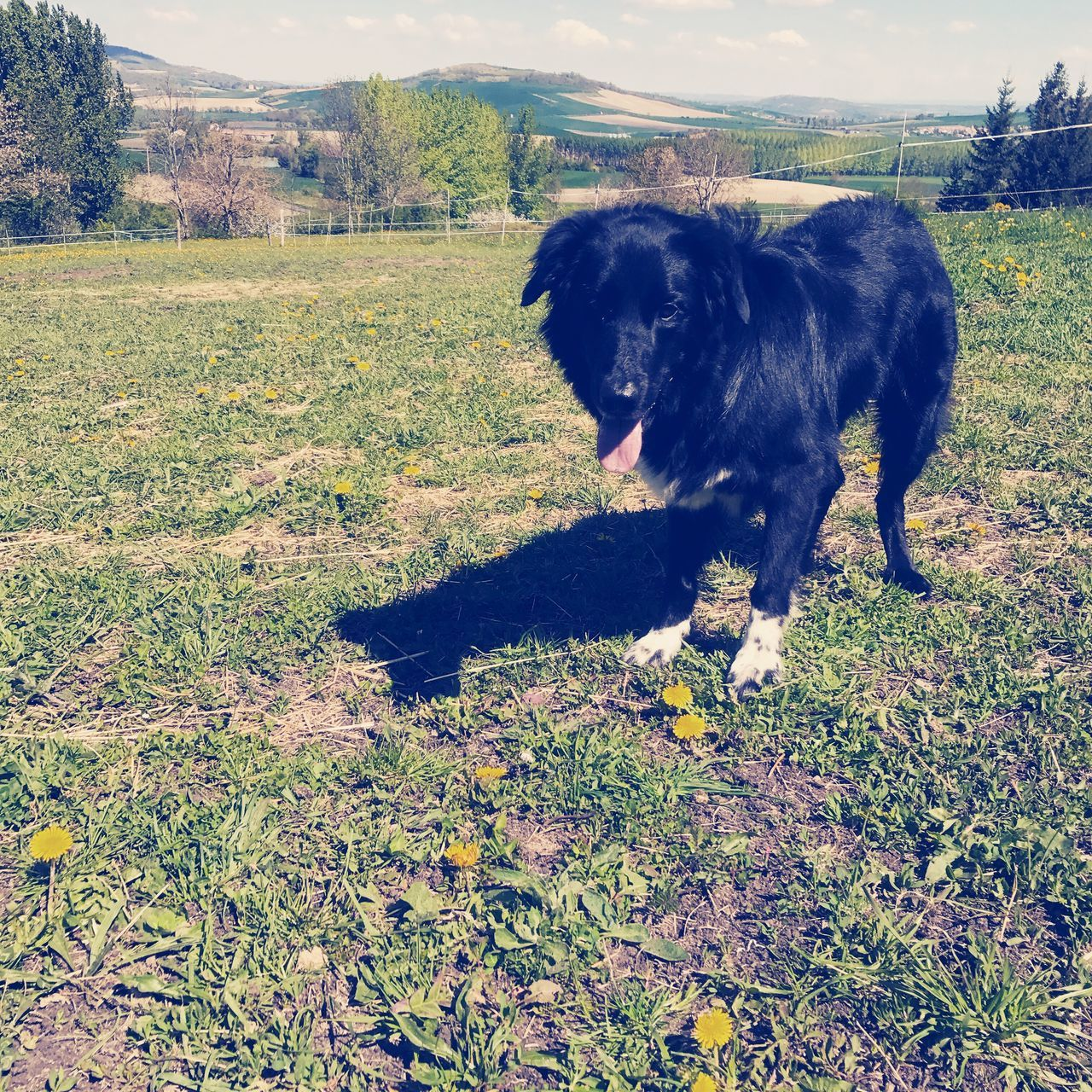 dog, domestic animals, pets, animal themes, one animal, mammal, field, grass, nature, no people, day, outdoors, black color, landscape, sky