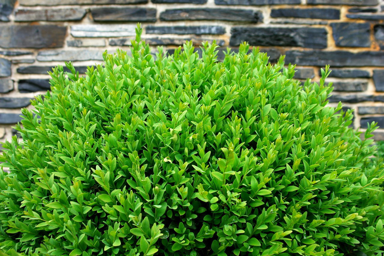 Beauty In Nature Bush Buxaceae Buxbaum Buxbaum Buxus Buxus Shrub Buxus Tree Close-up Concentric Day Focus On Foreground Freshness Green Color Growth In Front Of Leaf Leaves Nature No People Outdoors Plant Shrubs Stone Wall Wall