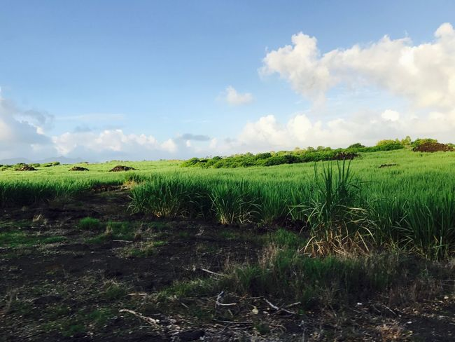 Agriculture Field Growth Green Color Crop  Farm Sky Nature (null)Landscape Tranquil Scene Rural Scene Beauty In Nature Grass No People Cloud - Sky Outdoors Sugar Sugarcane