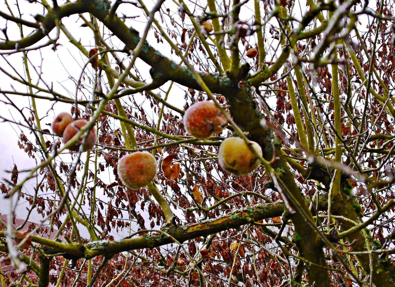 Apple Tree Apples Beauty In Nature Branch Close-up Day Food Food And Drink Freshness Frozen Fruits Fruit Growth Low Angle View Nature No People Outdoors Sky Tree