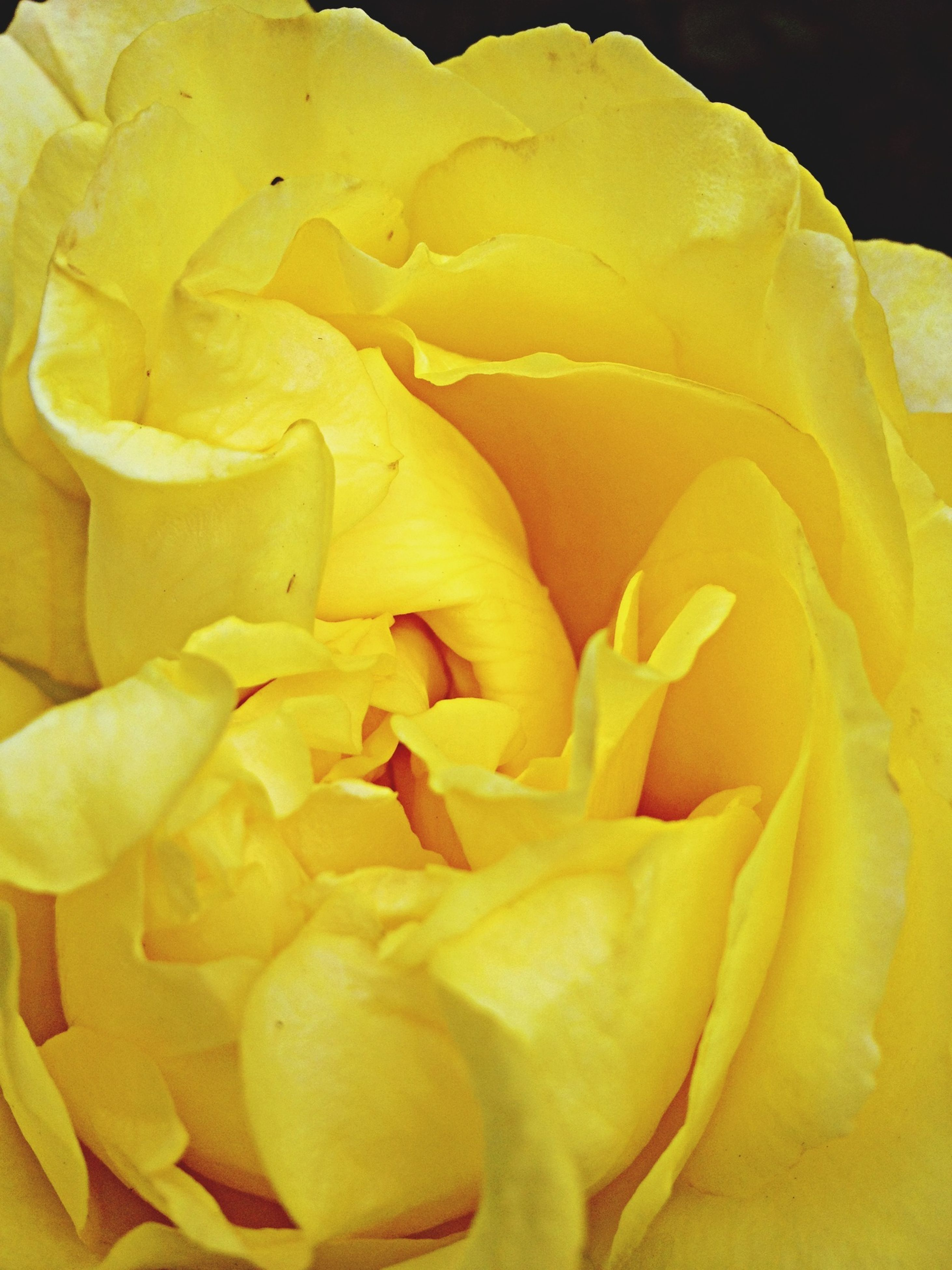 flower, petal, yellow, flower head, freshness, fragility, rose - flower, close-up, beauty in nature, single flower, nature, growth, blooming, rose, full frame, natural pattern, backgrounds, no people, in bloom, single rose