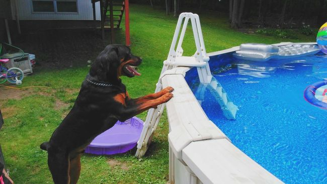 Todays lifeguard... Check This Out Caesar Enjoying Life Beating The Summer Heat Onlygodcouldcreatethis Our World Thru My Eyes Beauty In Ordinary Things Rottweilerlife Rottweiler My Buddy Dogs Of EyeEm Rottweilerlove Canine Companion Priceless Sawonmyadventure Pool View Pool Time