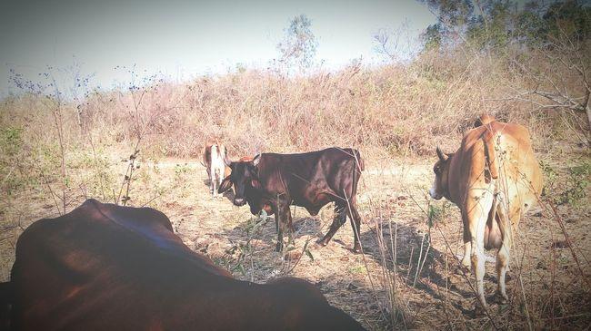 Animals Animal Animales Farm Animals Animales De Granja Cow Cows Outdoors Exteriores Exterior EyeEm Nature Lover Pueblos Countryside